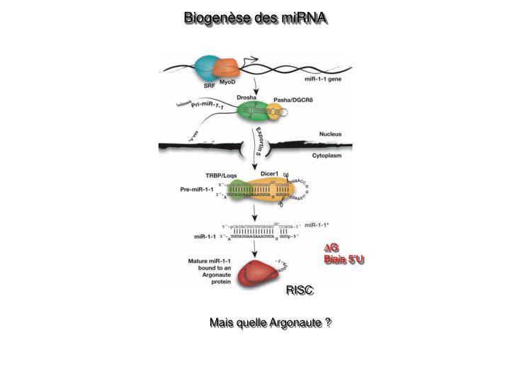 Biogenèse des miRNA