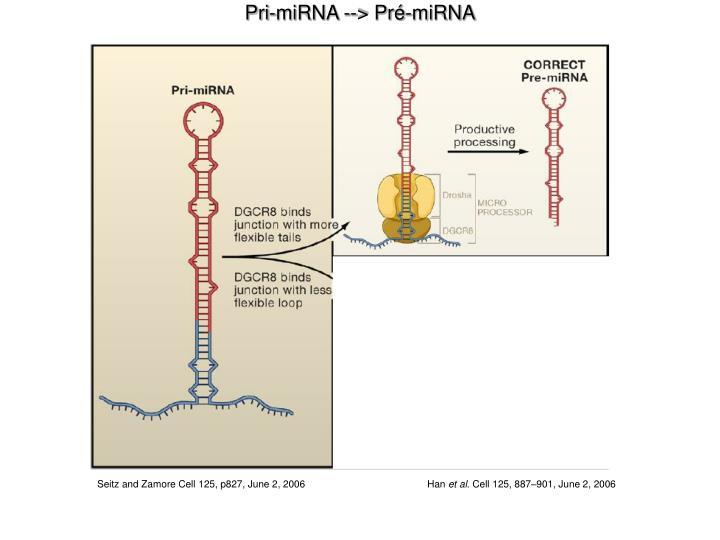 Pri-miRNA --> Pré-miRNA