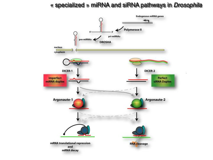 « specialized » miRNA and siRNA pathways in