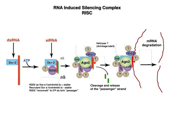 RNA Induced Silencing Complex