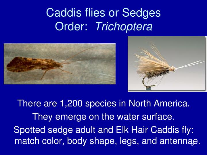 Caddis flies or Sedges