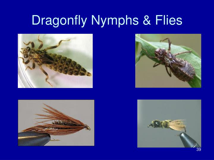 Dragonfly Nymphs & Flies