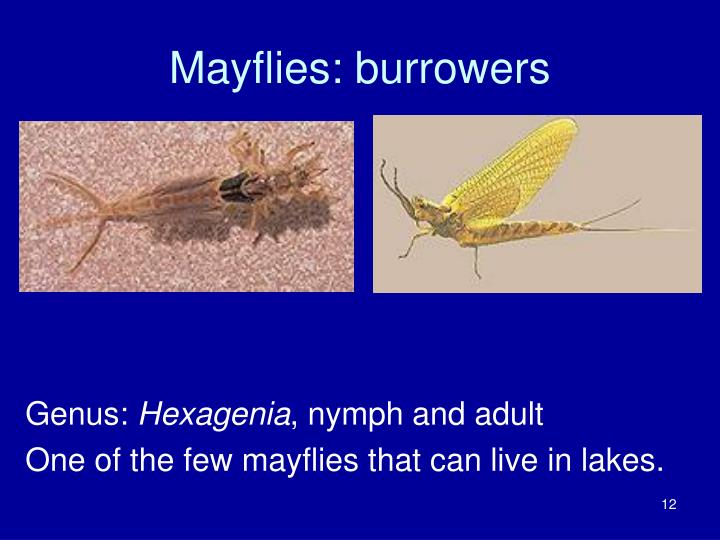 Mayflies: burrowers