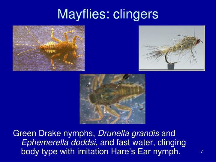 Mayflies: clingers