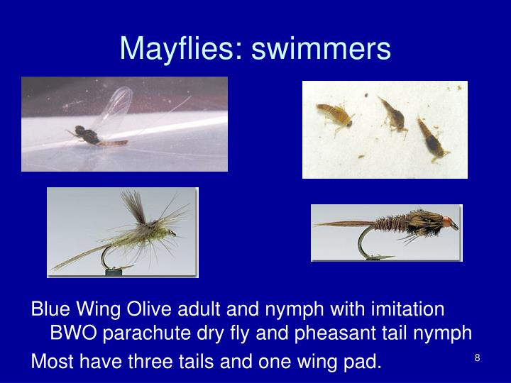 Mayflies: swimmers