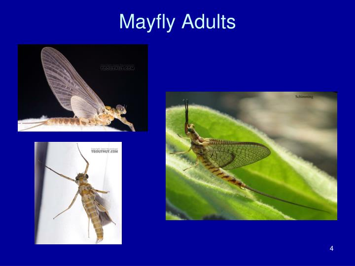 Mayfly Adults
