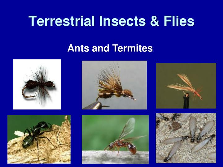 Terrestrial Insects & Flies