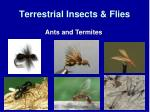 terrestrial insects flies2