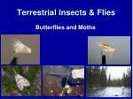 terrestrial insects flies4