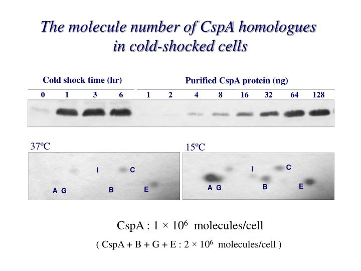 The molecule number of CspA homologues