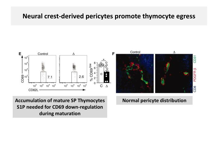 Neural crest-derived pericytes promote thymocyte egress