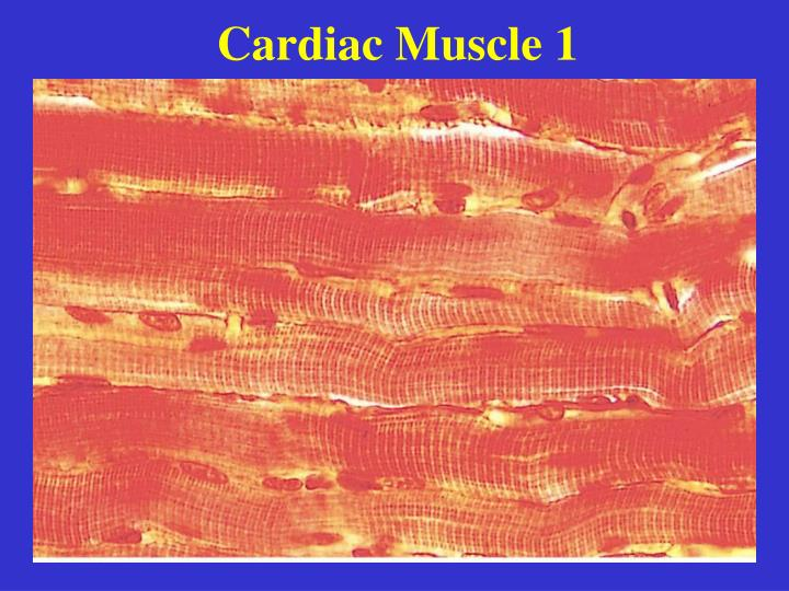 Cardiac Muscle 1