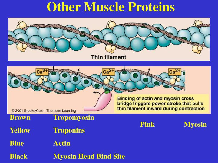 Other Muscle Proteins