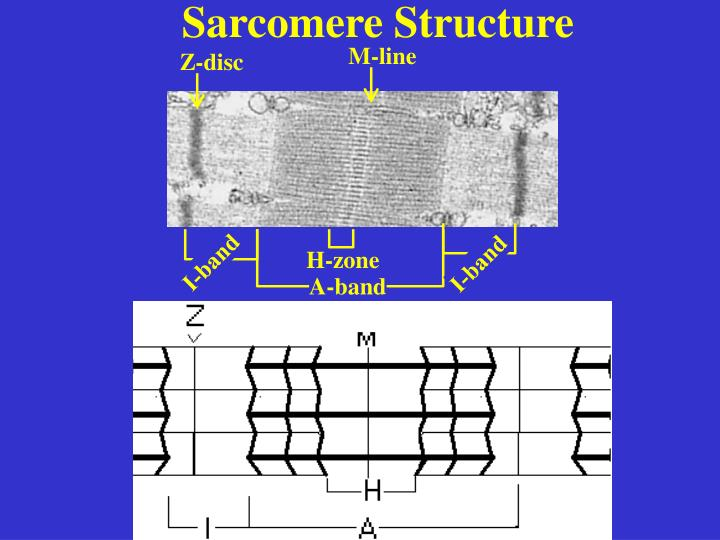 Sarcomere Structure