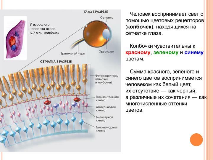 Человек воспринимает свет с помощью цветовых рецепторов (