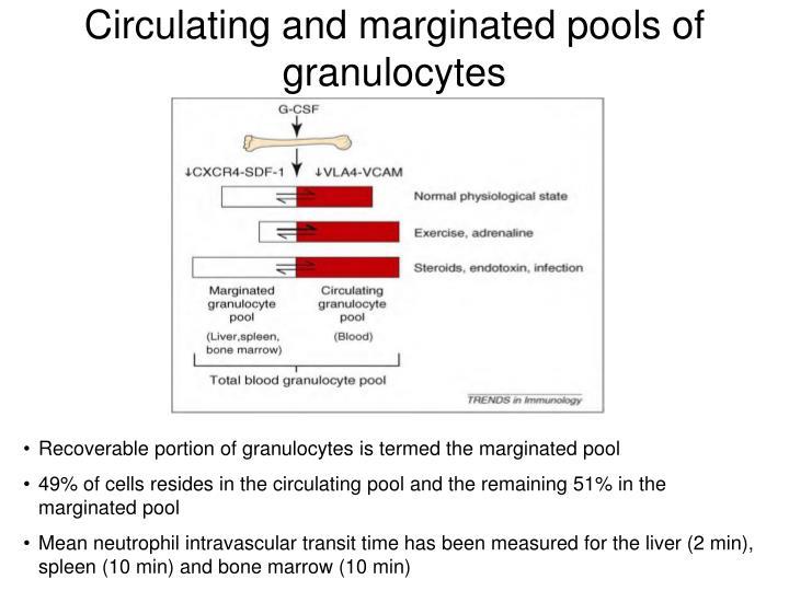 Circulating and marginated pools of granulocytes