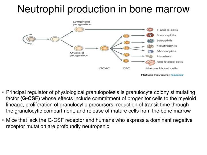 Neutrophil production in bone marrow