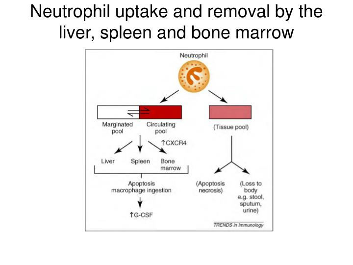 Neutrophil uptake and removal by the liver, spleen and bone marrow