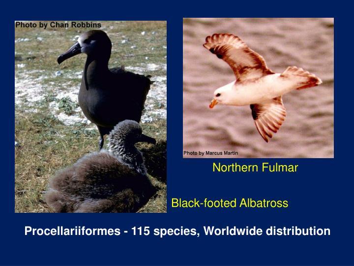 Northern Fulmar
