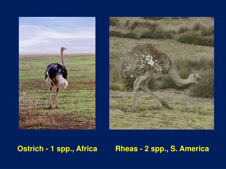Ostrich - 1 spp., Africa