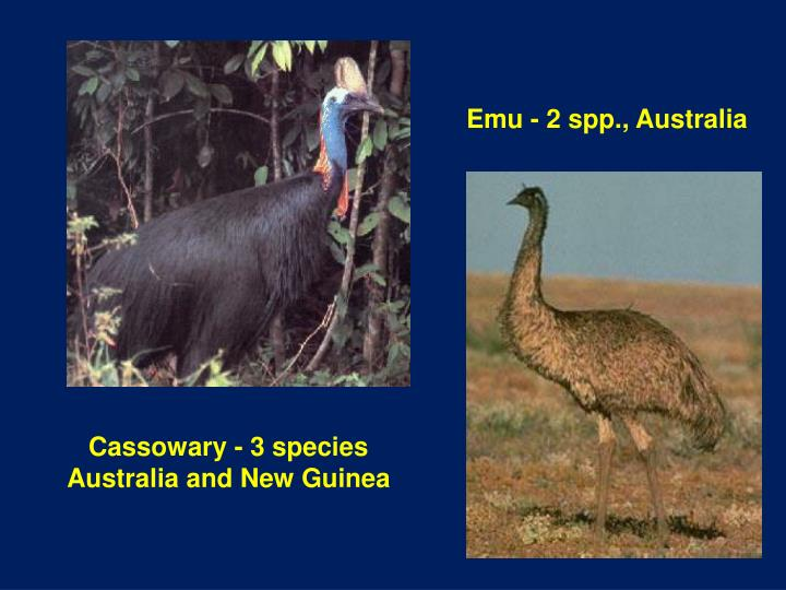 Emu - 2 spp., Australia