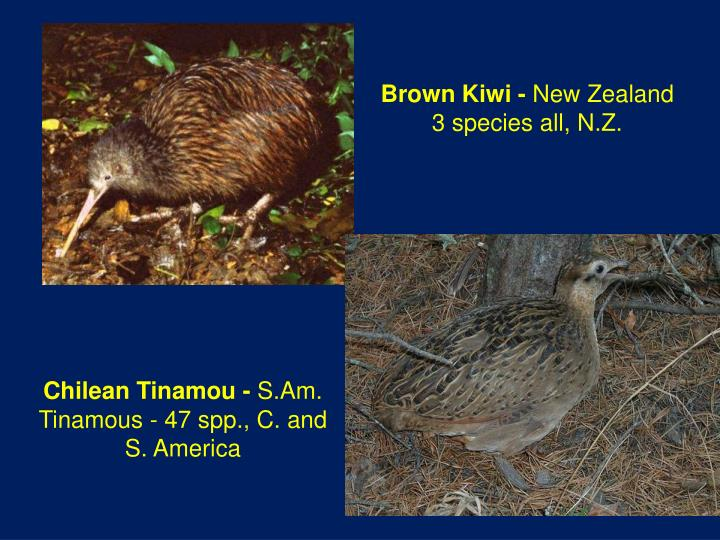 Brown Kiwi -