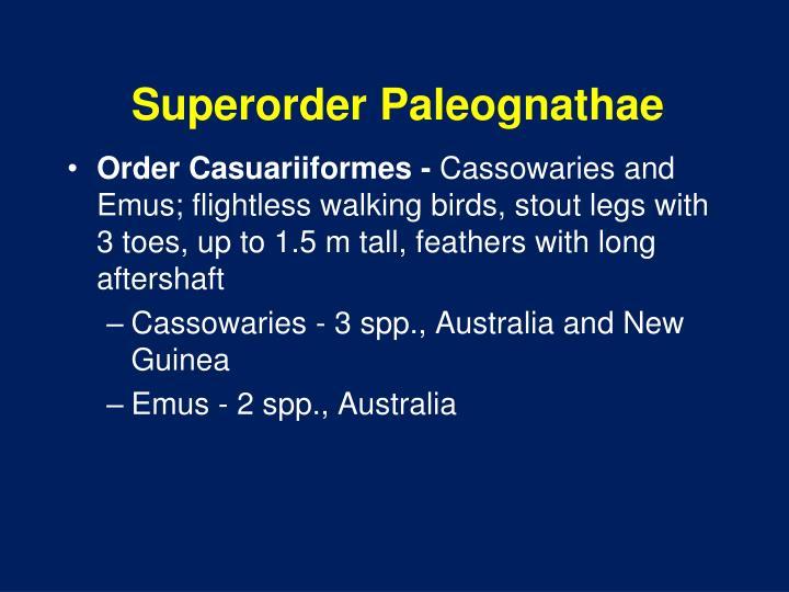 Superorder Paleognathae