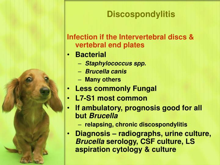 Discospondylitis