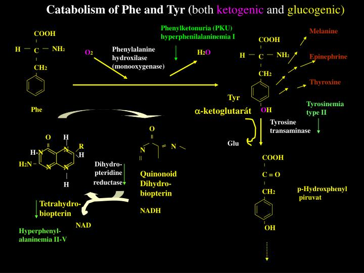 Catabolism of Phe and Tyr (