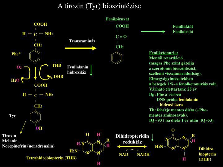 A tirozin (Tyr)