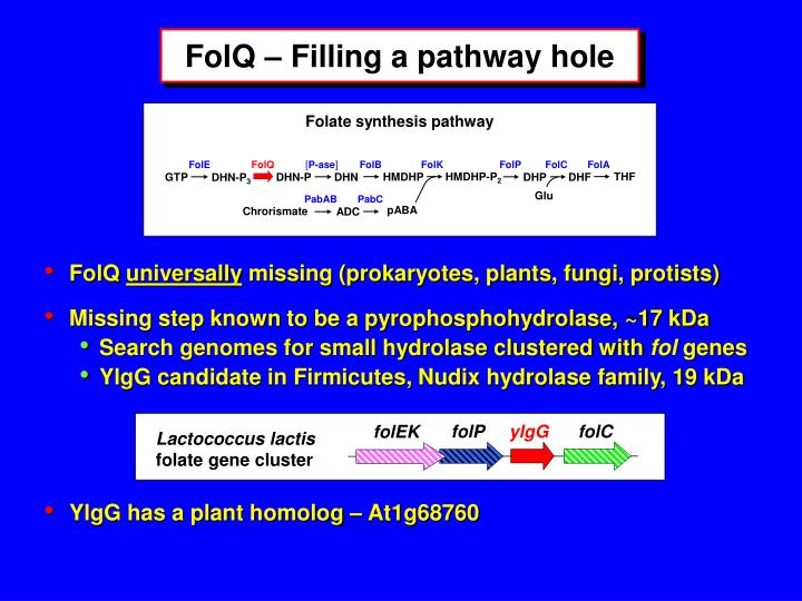 Folate synthesis pathway