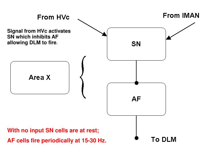 Signal from HVc activates SN which inhibits AF allowing DLM to fire