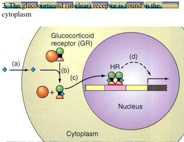 2. The glucocorticoid (nuclear) receptor is found in the cytoplasm