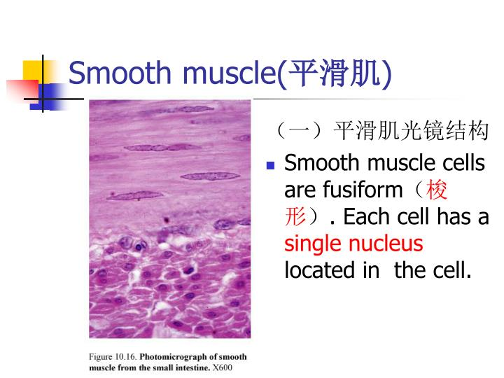 Smooth muscle cell