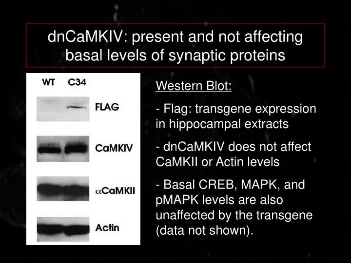 dnCaMKIV: present and not affecting basal levels of synaptic proteins