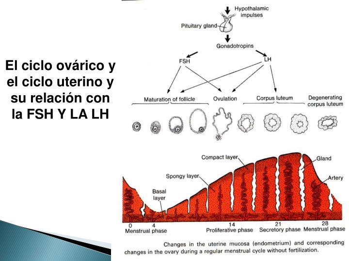El ciclo ovárico y el ciclo uterino y su relación con la FSH Y LA LH