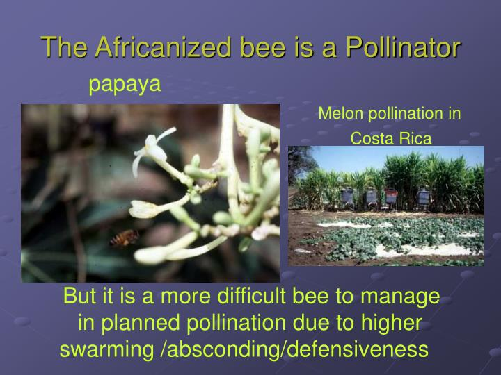 The Africanized bee is a Pollinator