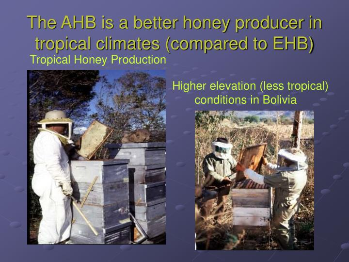 The AHB is a better honey producer in tropical climates (compared to EHB)