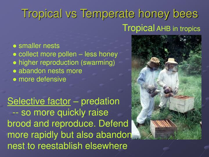 Tropical vs Temperate honey bees
