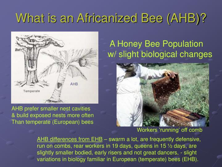What is an Africanized Bee (AHB)?