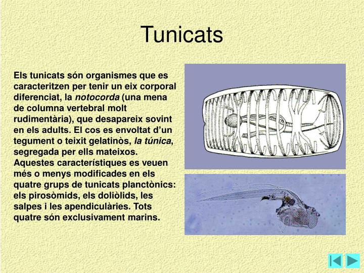 Tunicats