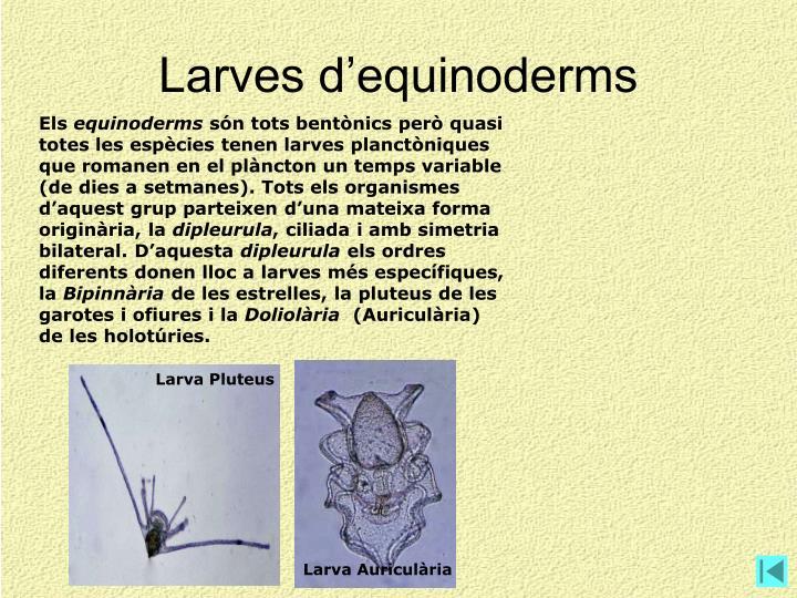 Larva Pluteus