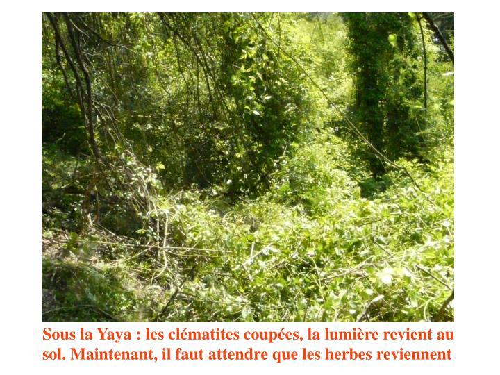 Sous la Yaya : les clématites coupées, la lumière revient au sol. Maintenant, il faut attendre que les herbes reviennent