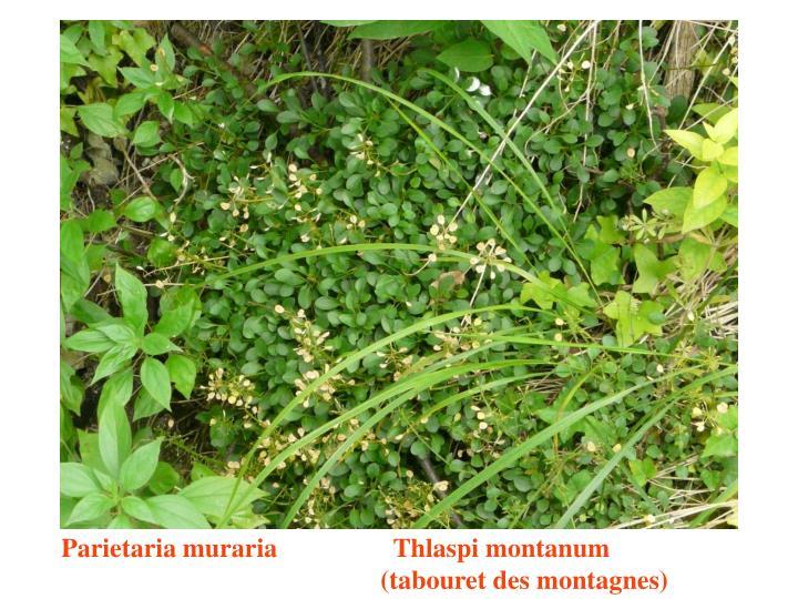 Parietaria muraria       Thlaspi montanum                                   (tabouret des montagnes)