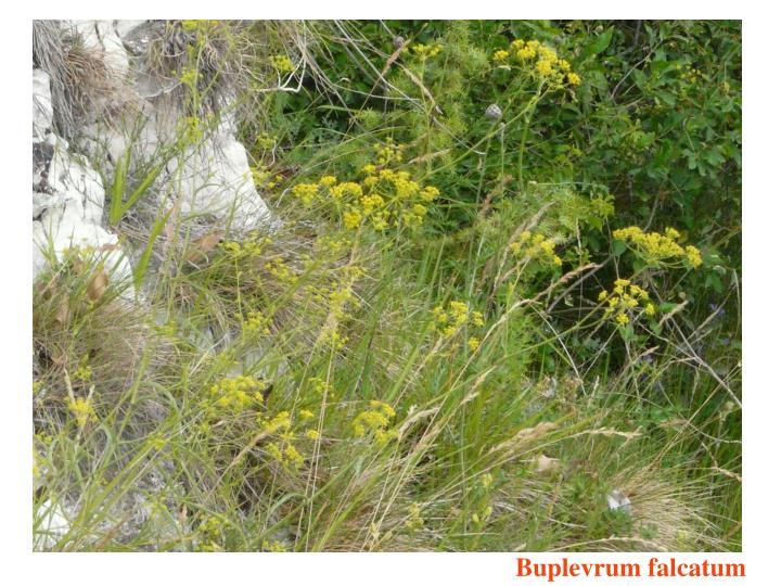 Buplevrum falcatum