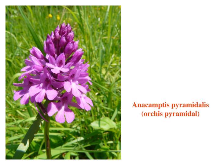 Anacamptis pyramidalis (orchis pyramidal)