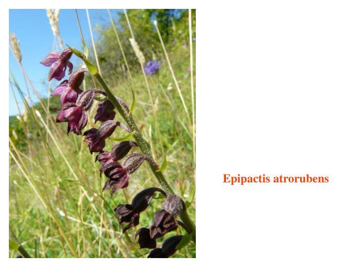 Epipactis atrorubens