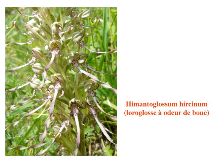 Himantoglossum hircinum (loroglosse à odeur de bouc)
