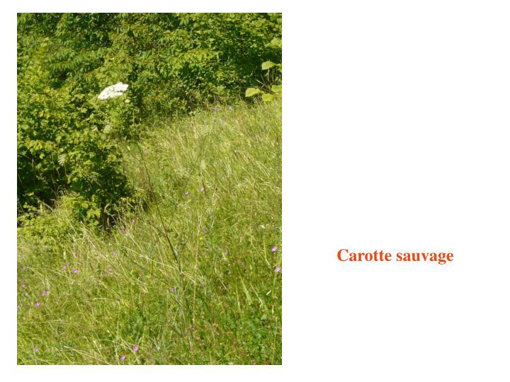 Carotte sauvage