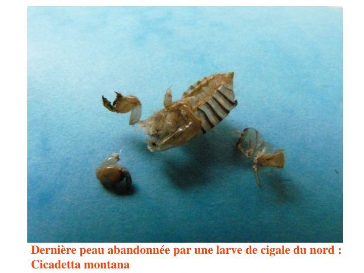 Dernière peau abandonnée par une larve de cigale du nord : Cicadetta montana